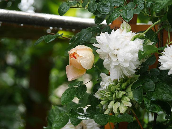 コントゥ・ドゥ・シャンパーニュ(Comtes de Champagne)の花が増えてきた。半ツルバラ。2021年-022.jpg