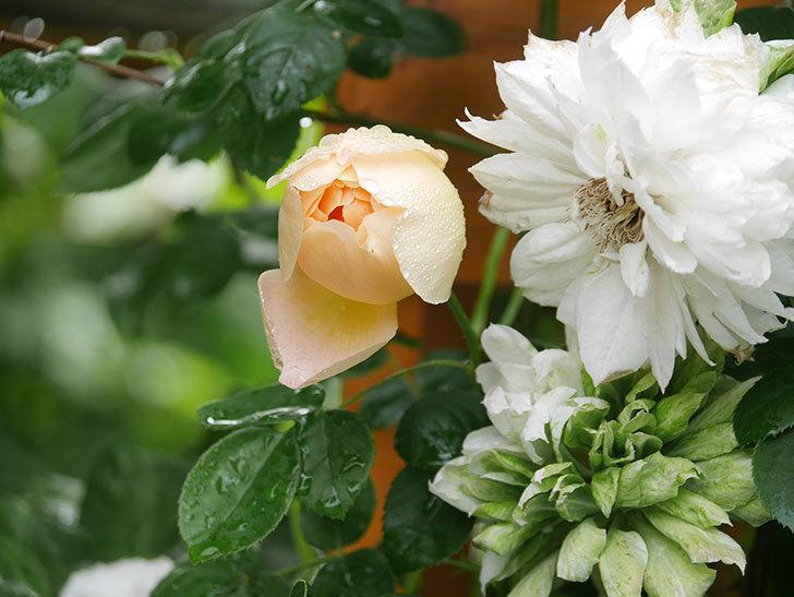 コントゥ・ドゥ・シャンパーニュ(Comtes de Champagne)の花が増えてきた。半ツルバラ。2021年-023.jpg