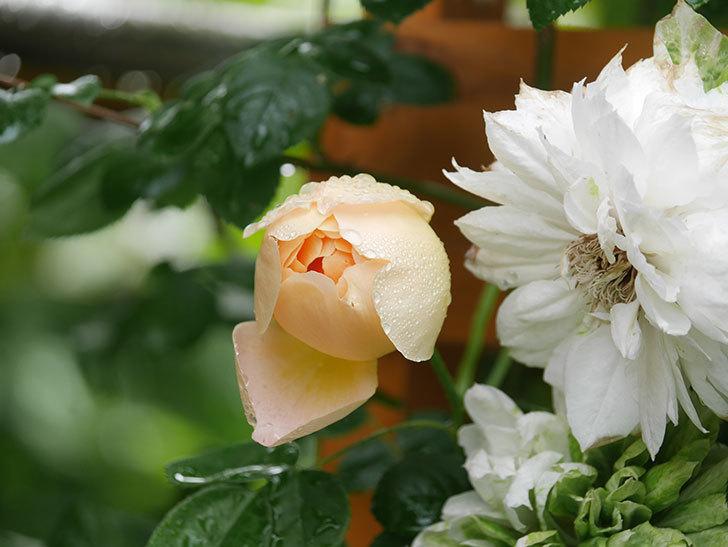 コントゥ・ドゥ・シャンパーニュ(Comtes de Champagne)の花が増えてきた。半ツルバラ。2021年-024.jpg
