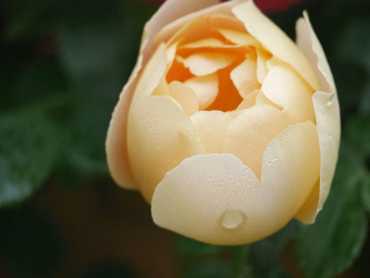 コントゥ・ドゥ・シャンパーニュ(Comtes de Champagne)の花が増えてきた。半ツルバラ。2021年-026.jpg