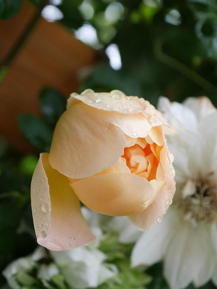 コントゥ・ドゥ・シャンパーニュ(Comtes de Champagne)の花が増えてきた。半ツルバラ。2021年-030.jpg