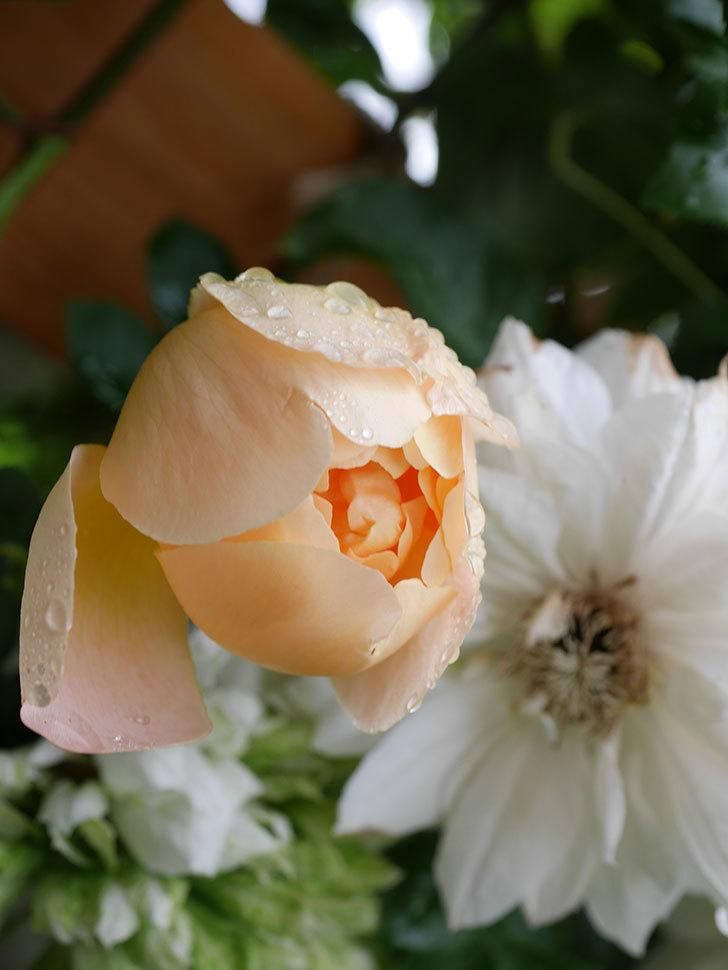 コントゥ・ドゥ・シャンパーニュ(Comtes de Champagne)の花が増えてきた。半ツルバラ。2021年-032.jpg