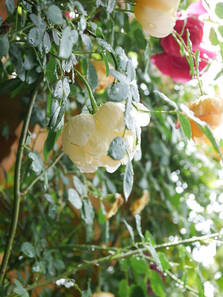 コントゥ・ドゥ・シャンパーニュ(Comtes de Champagne)の花が増えてきた。半ツルバラ。2021年-033.jpg