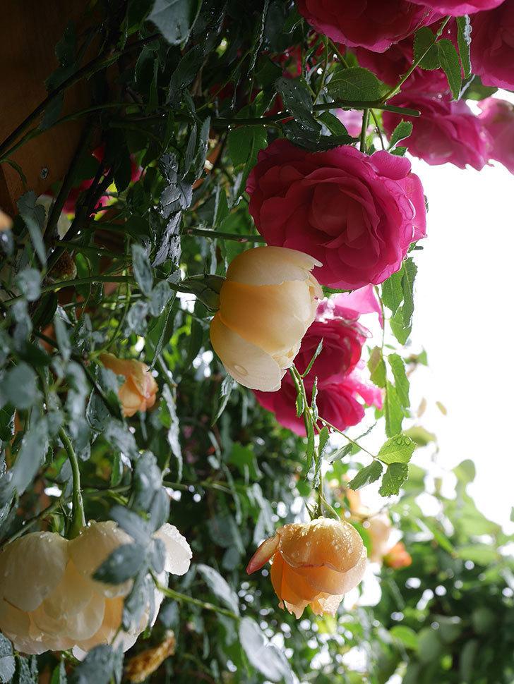 コントゥ・ドゥ・シャンパーニュ(Comtes de Champagne)の花が増えてきた。半ツルバラ。2021年-034.jpg
