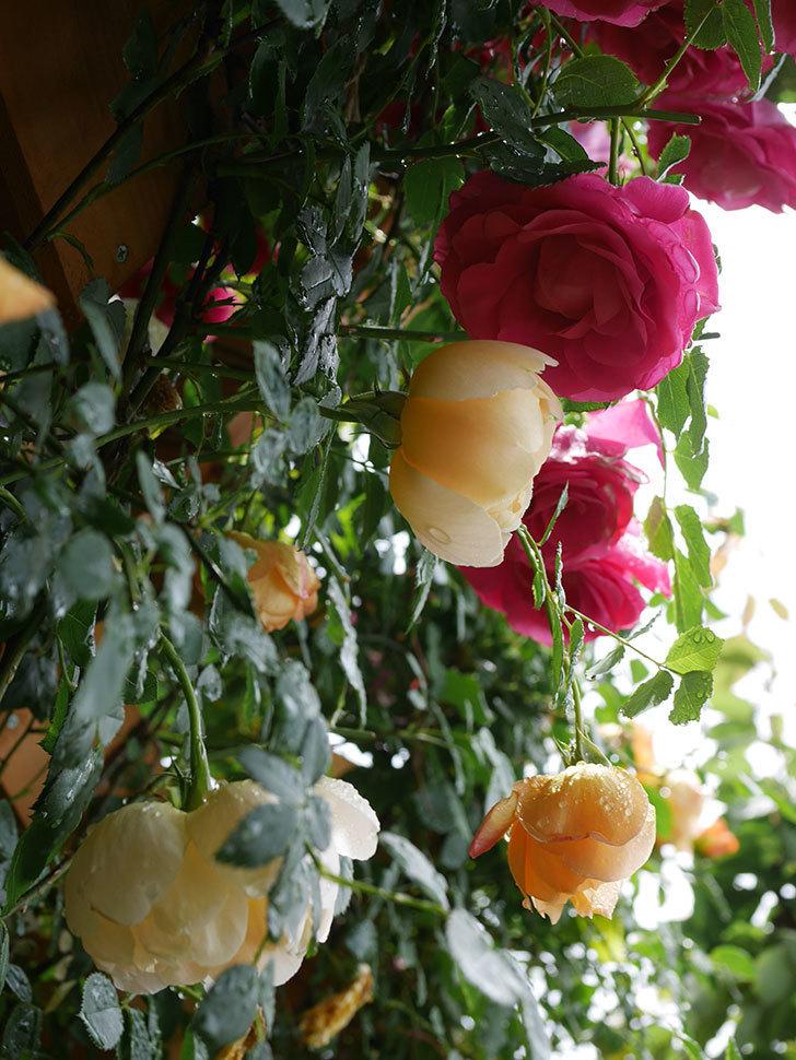 コントゥ・ドゥ・シャンパーニュ(Comtes de Champagne)の花が増えてきた。半ツルバラ。2021年-035.jpg