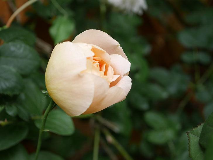 コントゥ・ドゥ・シャンパーニュ(Comtes de Champagne)の花が増えてきた。半ツルバラ。2021年-037.jpg
