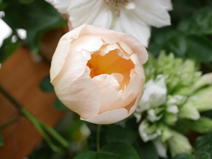 コントゥ・ドゥ・シャンパーニュ(Comtes de Champagne)の花が増えてきた。半ツルバラ。2021年-038.jpg
