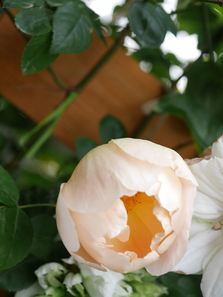 コントゥ・ドゥ・シャンパーニュ(Comtes de Champagne)の花が増えてきた。半ツルバラ。2021年-039.jpg