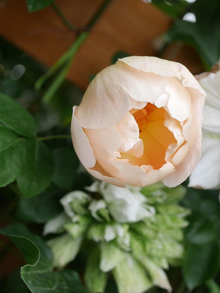 コントゥ・ドゥ・シャンパーニュ(Comtes de Champagne)の花が増えてきた。半ツルバラ。2021年-041.jpg