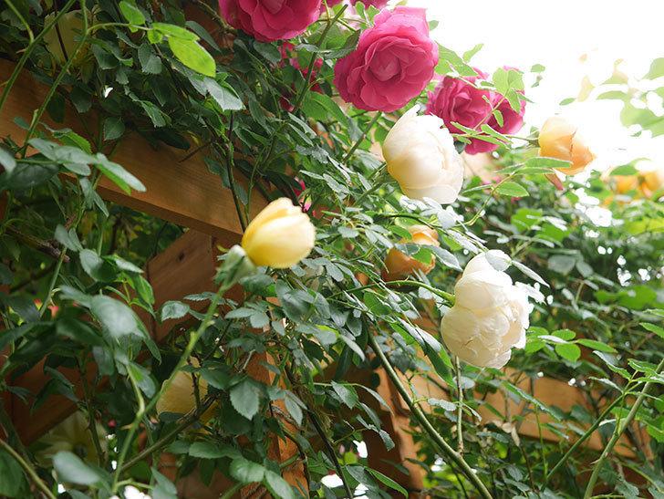 コントゥ・ドゥ・シャンパーニュ(Comtes de Champagne)の花が増えてきた。半ツルバラ。2021年-042.jpg
