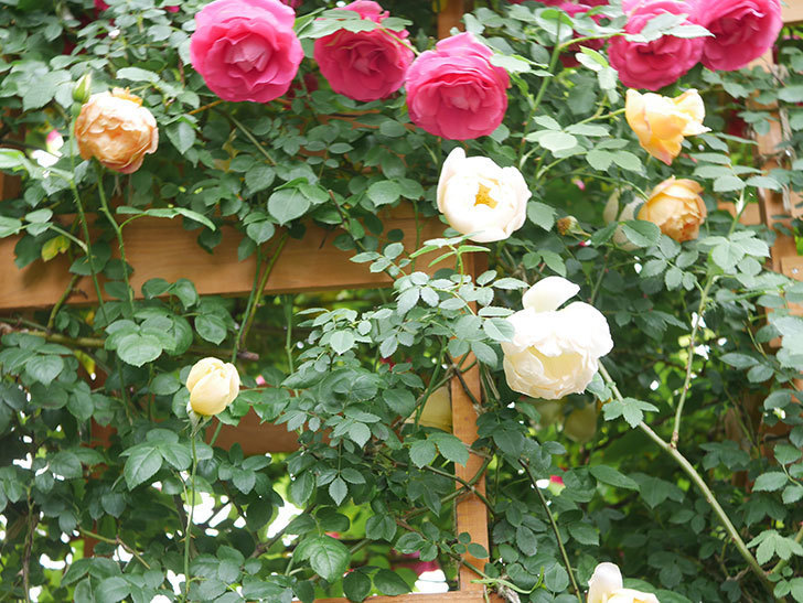 コントゥ・ドゥ・シャンパーニュ(Comtes de Champagne)の花が増えてきた。半ツルバラ。2021年-043.jpg