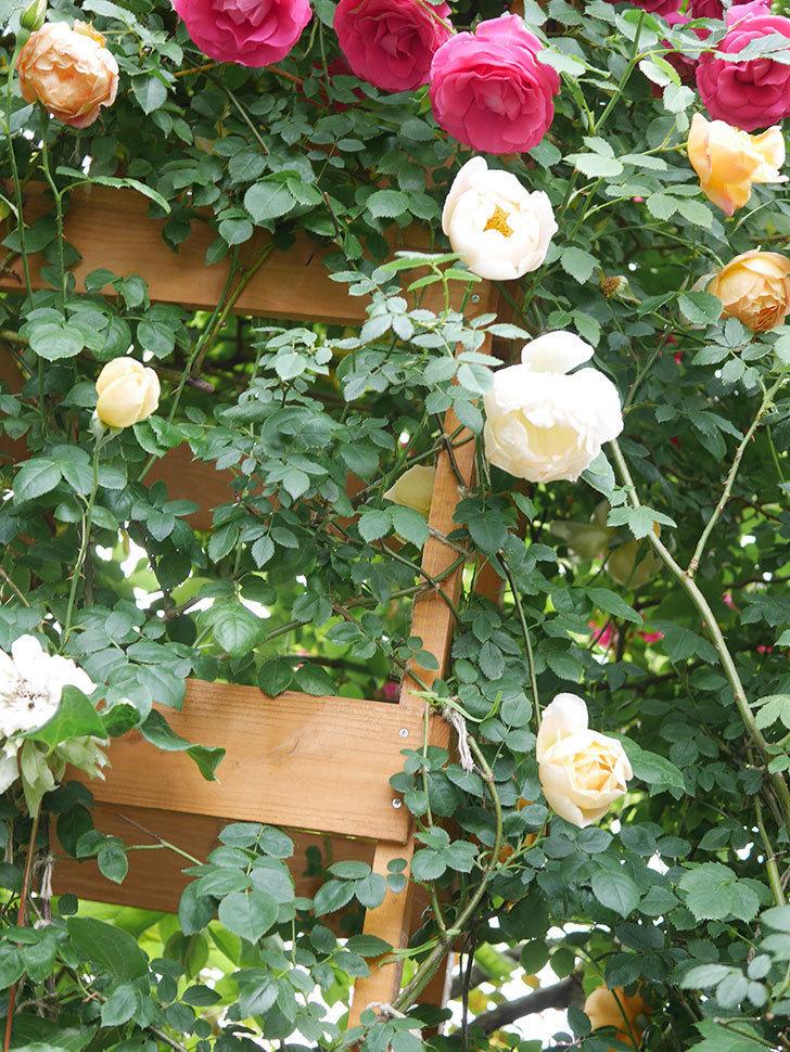 コントゥ・ドゥ・シャンパーニュ(Comtes de Champagne)の花が増えてきた。半ツルバラ。2021年-044.jpg