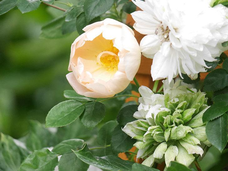 コントゥ・ドゥ・シャンパーニュ(Comtes de Champagne)の花が増えてきた。半ツルバラ。2021年-051.jpg