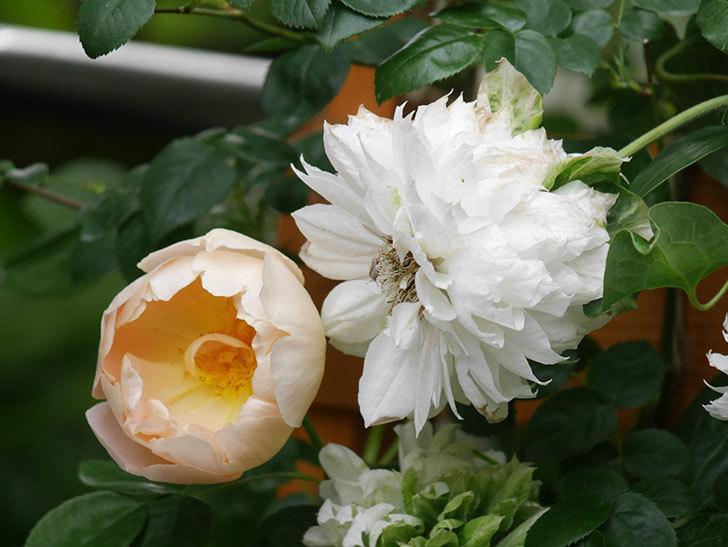 コントゥ・ドゥ・シャンパーニュ(Comtes de Champagne)の花が増えてきた。半ツルバラ。2021年-052.jpg