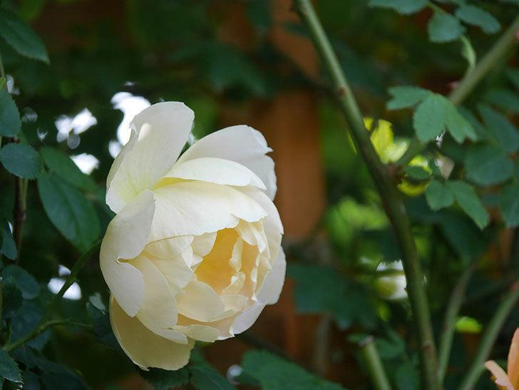 コントゥ・ドゥ・シャンパーニュ(Comtes de Champagne)の花が増えてきた。半ツルバラ。2021年-063.jpg