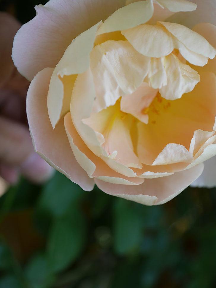 コントゥ・ドゥ・シャンパーニュ(Comtes de Champagne)の花が増えてきた。半ツルバラ。2021年-066.jpg