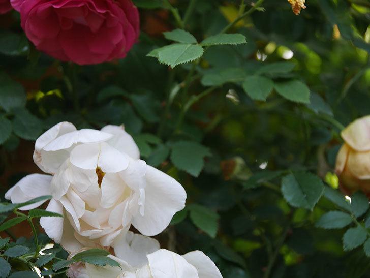 コントゥ・ドゥ・シャンパーニュ(Comtes de Champagne)の花が増えてきた。半ツルバラ。2021年-074.jpg