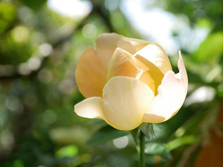 コントゥ・ドゥ・シャンパーニュ(Comtes de Champagne)の花が増えてきた。半ツルバラ。2021年-080.jpg