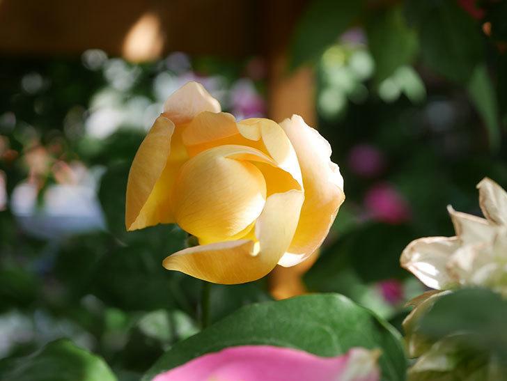 コントゥ・ドゥ・シャンパーニュ(Comtes de Champagne)の花が増えてきた。半ツルバラ。2021年-083.jpg