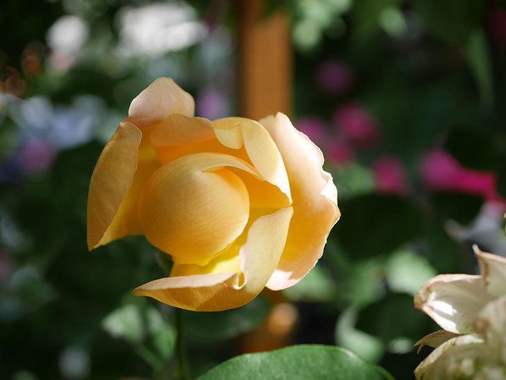 コントゥ・ドゥ・シャンパーニュ(Comtes de Champagne)の花が増えてきた。半ツルバラ。2021年-084.jpg