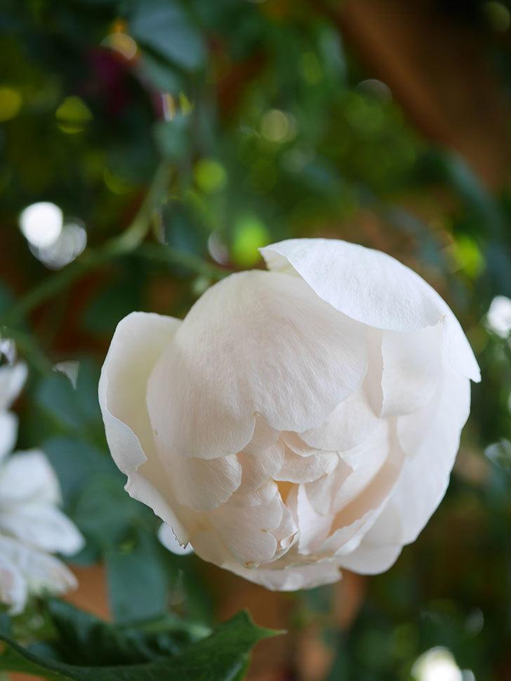 コントゥ・ドゥ・シャンパーニュ(Comtes de Champagne)の花が増えてきた。半ツルバラ。2021年-090.jpg