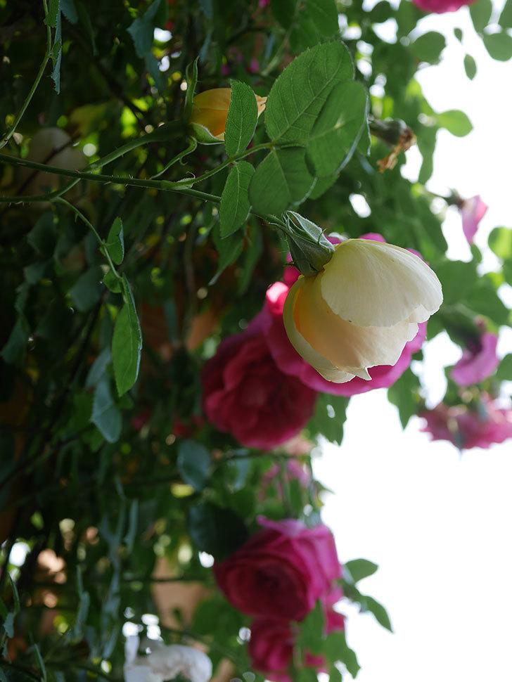 コントゥ・ドゥ・シャンパーニュ(Comtes de Champagne)の花が増えてきた。半ツルバラ。2021年-092.jpg