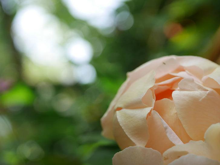 コントゥ・ドゥ・シャンパーニュ(Comtes de Champagne)の花が増えてきた。半ツルバラ。2021年-095.jpg