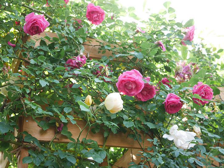 コントゥ・ドゥ・シャンパーニュ(Comtes de Champagne)の花が増えてきた。半ツルバラ。2021年-098.jpg