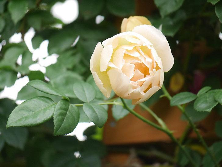 コントゥ・ドゥ・シャンパーニュ(Comtes de Champagne)の花が増えてきた。半ツルバラ。2021年-100.jpg