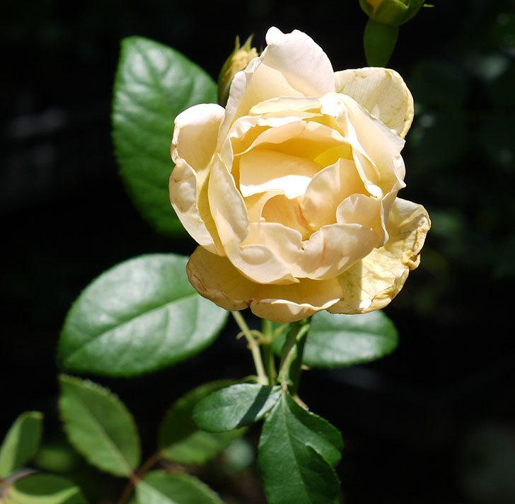 コントゥ・ドゥ・シャンパーニュ(ツルバラ)の2番花が咲いた。2017年-1.jpg