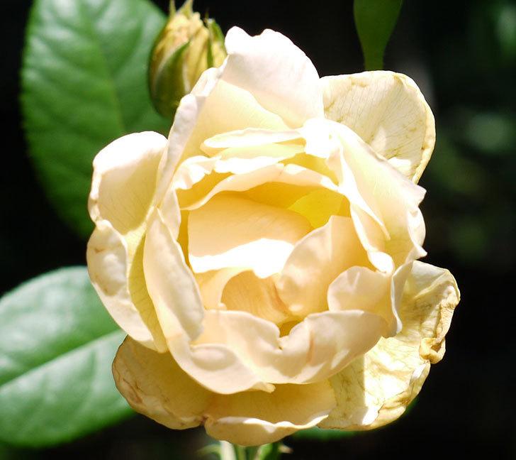 コントゥ・ドゥ・シャンパーニュ(ツルバラ)の2番花が咲いた。2017年-2.jpg