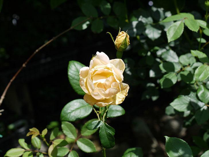 コントゥ・ドゥ・シャンパーニュ(ツルバラ)の2番花が咲いた。2017年-3.jpg