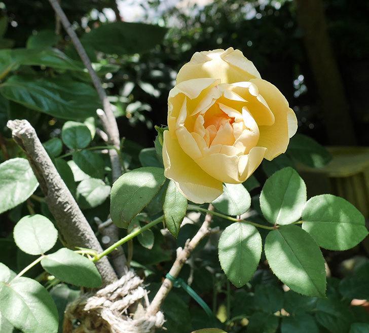 コントゥ・ドゥ・シャンパーニュ(ツルバラ)の2番花が咲いた。2018年-1.jpg