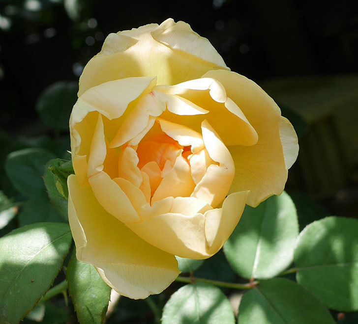 コントゥ・ドゥ・シャンパーニュ(ツルバラ)の2番花が咲いた。2018年-2.jpg