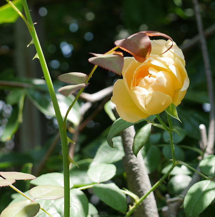 コントゥ・ドゥ・シャンパーニュ(ツルバラ)の2番花が咲いた。2018年-3.jpg
