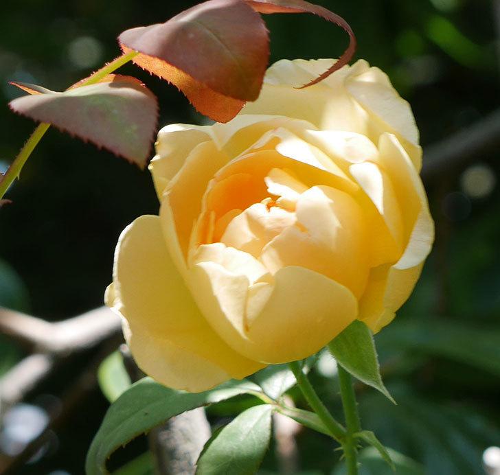 コントゥ・ドゥ・シャンパーニュ(ツルバラ)の2番花が咲いた。2018年-4.jpg