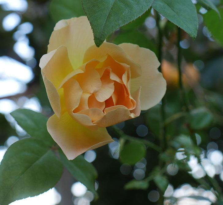 コントゥ・ドゥ・シャンパーニュ(ツルバラ)の秋花が咲いた。2018年-1.jpg