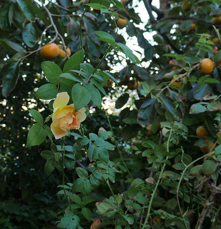 コントゥ・ドゥ・シャンパーニュ(ツルバラ)の秋花が咲いた。2018年-2.jpg