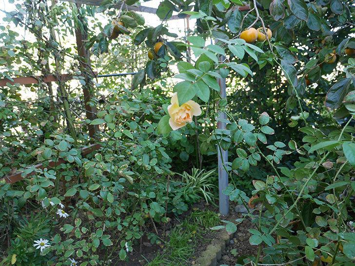 コントゥ・ドゥ・シャンパーニュ(ツルバラ)の秋花が咲いた。2018年-4.jpg