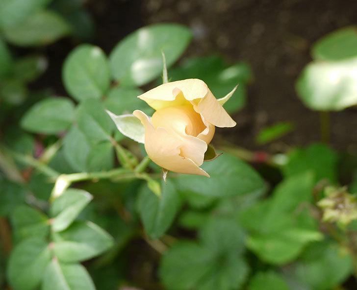 コントゥ・ドゥ・シャンパーニュ(ツルバラ)の秋花が少し咲いた。2016年-1.jpg