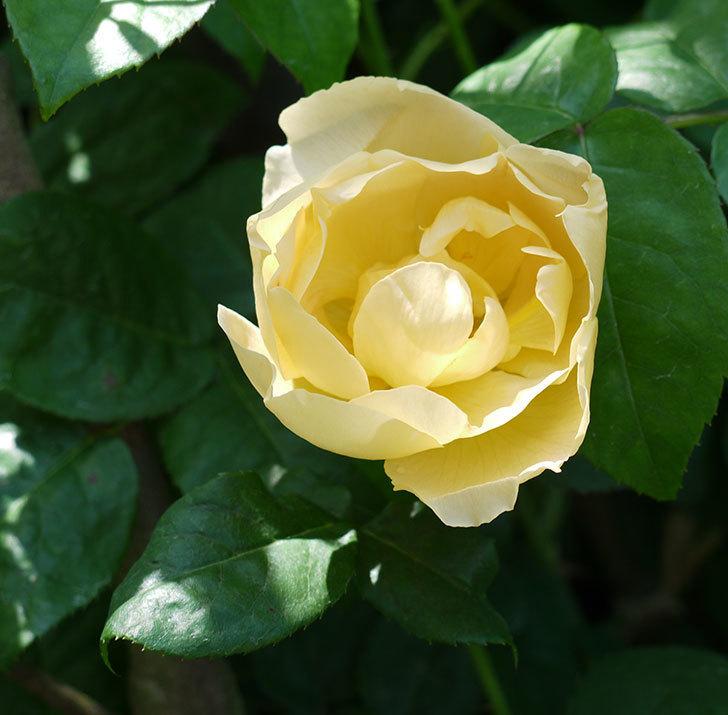コントゥ・ドゥ・シャンパーニュ(ツルバラ)の花が1個咲いた。2017年-1.jpg