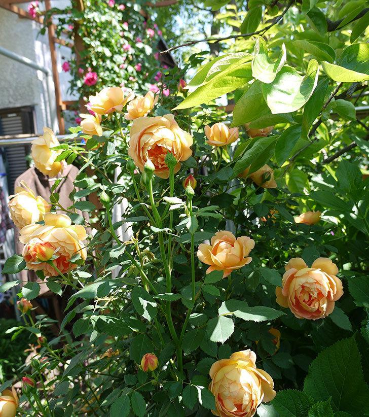 コントゥ・ドゥ・シャンパーニュ(ツルバラ)の花が1個咲いた。2017年-10.jpg