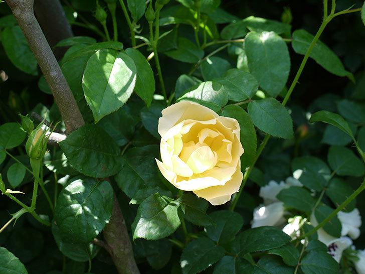 コントゥ・ドゥ・シャンパーニュ(ツルバラ)の花が1個咲いた。2017年-11.jpg