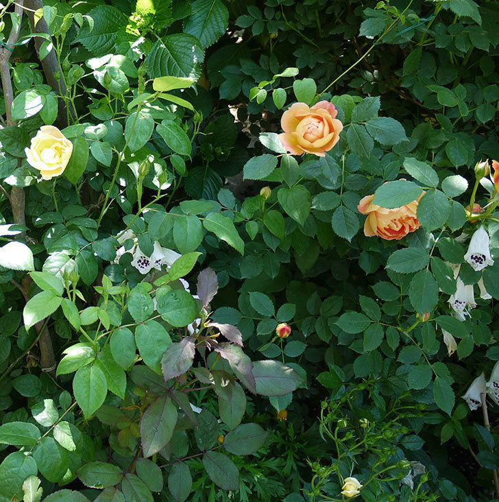 コントゥ・ドゥ・シャンパーニュ(ツルバラ)の花が1個咲いた。2017年-12.jpg