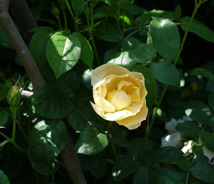 コントゥ・ドゥ・シャンパーニュ(ツルバラ)の花が1個咲いた。2017年-2.jpg