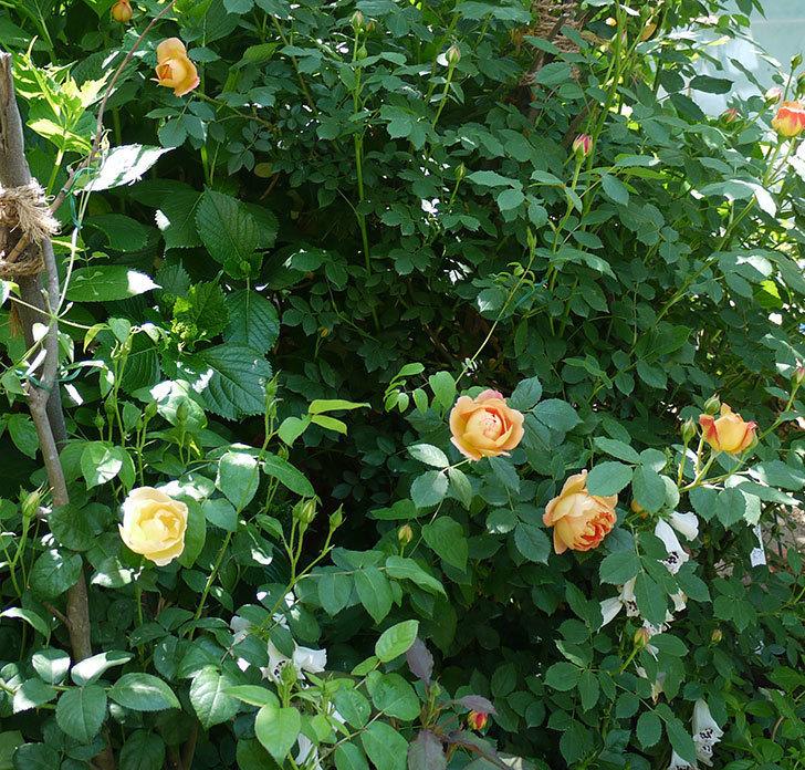 コントゥ・ドゥ・シャンパーニュ(ツルバラ)の花が1個咲いた。2017年-5.jpg