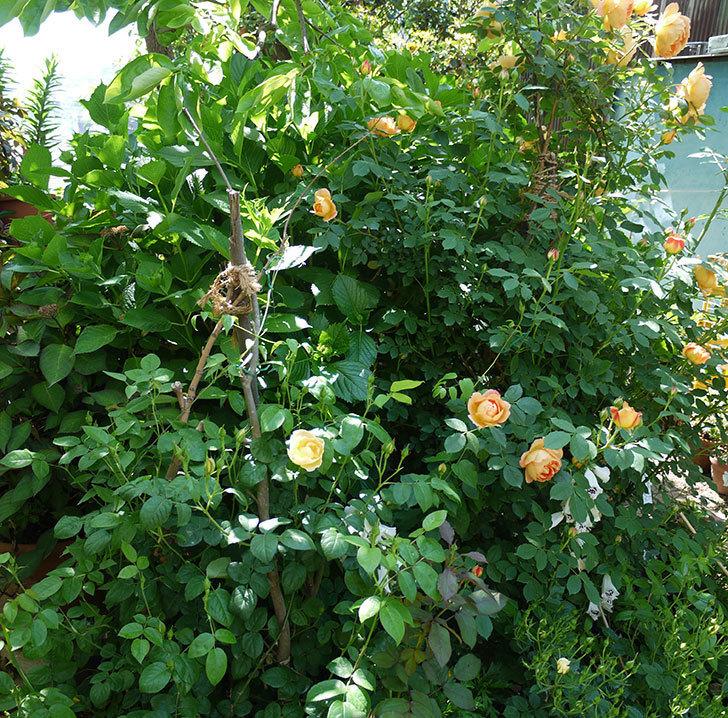 コントゥ・ドゥ・シャンパーニュ(ツルバラ)の花が1個咲いた。2017年-6.jpg
