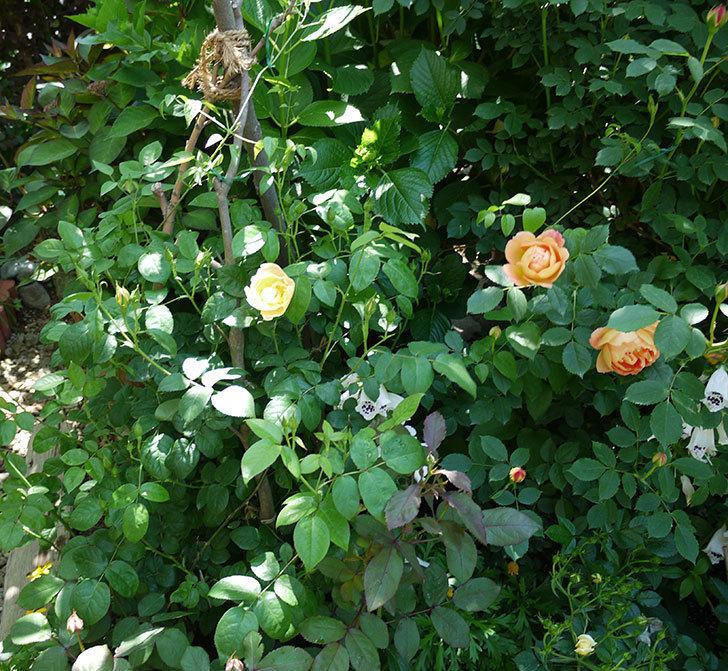 コントゥ・ドゥ・シャンパーニュ(ツルバラ)の花が1個咲いた。2017年-7.jpg