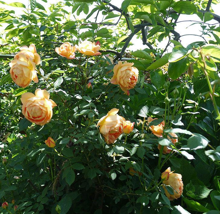 コントゥ・ドゥ・シャンパーニュ(ツルバラ)の花が1個咲いた。2017年-8.jpg
