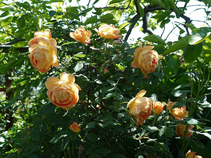 コントゥ・ドゥ・シャンパーニュ(ツルバラ)の花が1個咲いた。2017年-9.jpg
